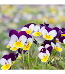 Violka rohatá Miss Helen Mount - Viola cornuta - semena - 100 ks