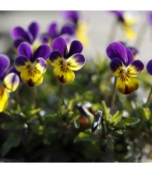 Violka rohatá Johnny Jump - Viola cornuta - semena - 300 ks