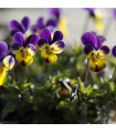 Violka rohatá Johnny Jump - Viola cornuta - semena - 0,2 gr