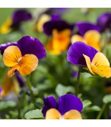 Violka rohatá směs - Viola cornuta - semena - 300 ks