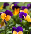 Violka rohatá směs - Viola cornuta mix - semena - 0,2 gr