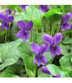 Violka vonná Královna Šarlot - Viola odorata - semena - 0,2 gr