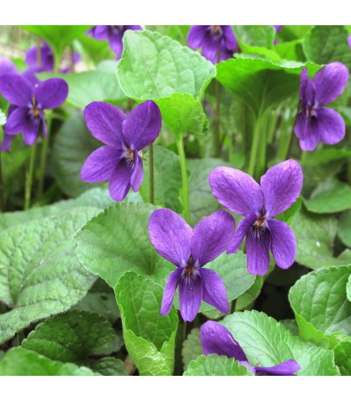 Violka vonná Královna Šarlot - Viola odorata - semena - 50 ks
