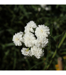 Řebříček Bertrám Perla - Achillea ptarmica - semena - 0,1 g