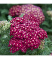 More about Řebříček obecný Cerise queen - Achillea millefolium - semena - 0,1 g