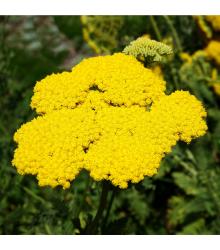 Řebříček tužebníkový žlutý - Achillea filipendulina - semena - 0,5 gr