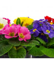 More about Prvosenka velkokvětá směs - Primula elatior mix - semena - 60 ks