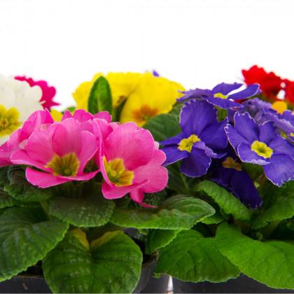 Prvosenka velkokvětá směs - Primula elatior mix - semena - 60 ks