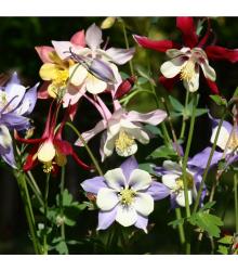 Orlíček velkokvětý směs - Aquilegia caerulea - semena - 250 ks