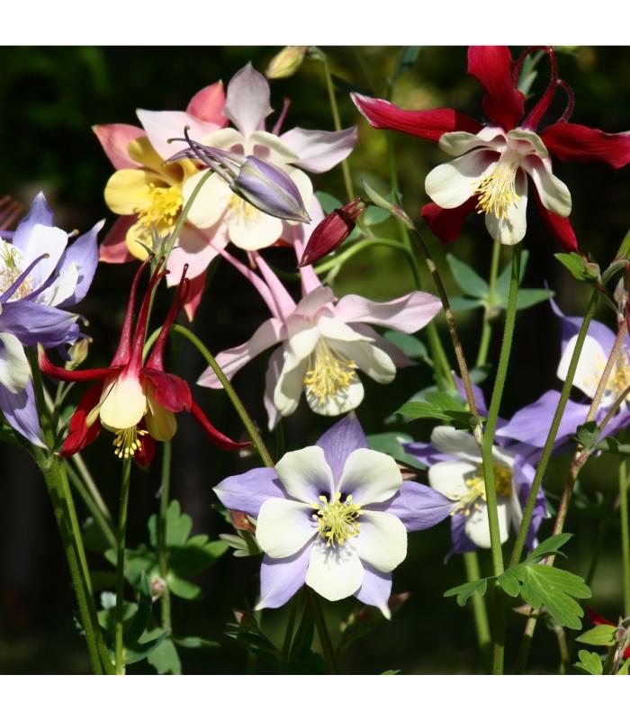 Orlíček velkokvětý směs - Aquilegia caerulea mix - semena - 0,3 gr