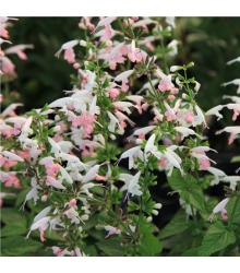 Šalvěj šarlatová Hummingbird - Salvia coccinea - semena - 10 ks