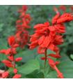 Šalvěj zářivá - Salvia splendens - semena - 40 ks