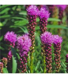 Šuškarda klasnatá Floristan Violet - Liatris spicata - semena - 20 ks