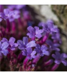 Sporýš lékařský - Verbena officinalis - semena - 200 ks