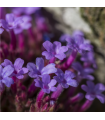 Sporýš lékařský - Verbena officinalis - semena - 0,5 gr