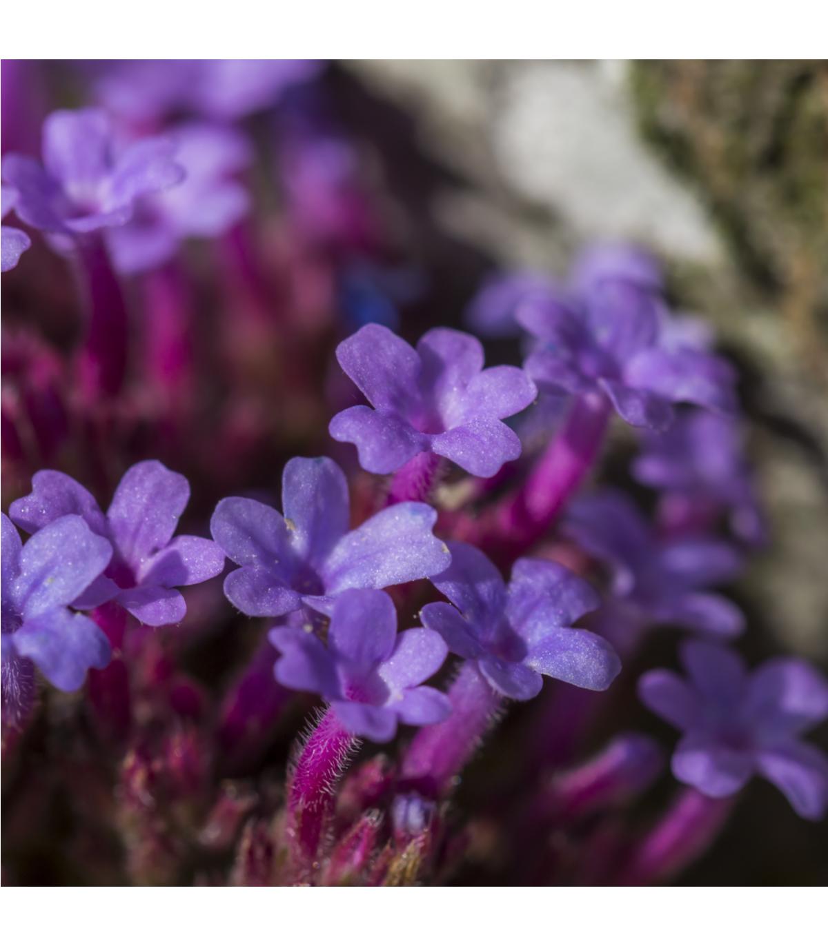 Sporýš lékařský - Verbena officinalis - semena sporýše - 200 ks