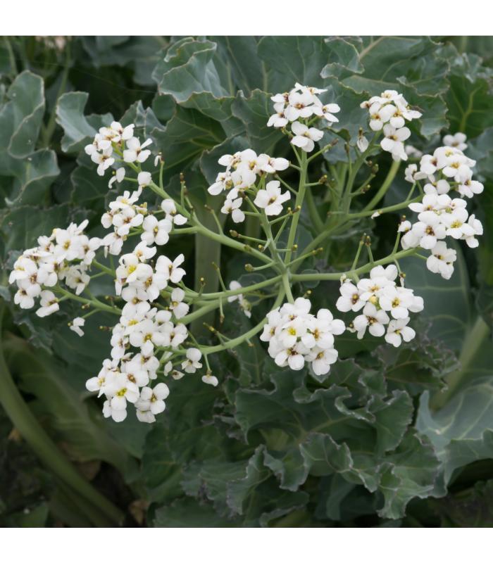 Katráň přímořský - Crambe maritima - semena - 0,2 g