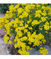 Tařice skalní - Alyssum saxatile - semena - 1 gr
