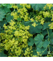 Kontryhel měkký - Alchemilla mollis - semena - 20 ks