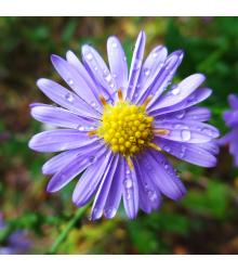 Astra alpínská modrá - Aster alpinus - semena - 70 ks