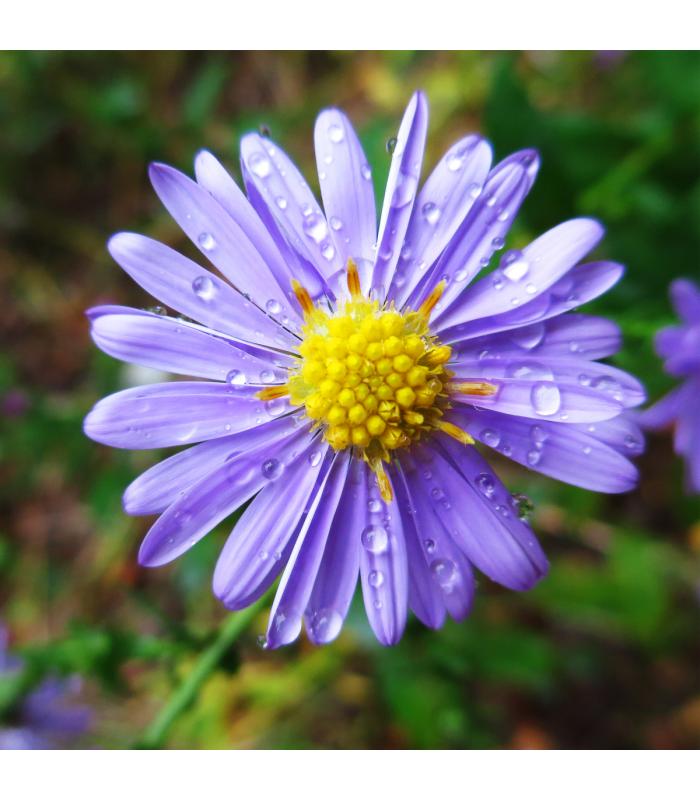 Astra alpínská modrá - Aster alpinus - semena - 0,3 gr