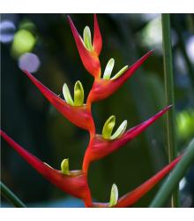 Helikonie farinosa červená - Heliconia farinosa - semena - 3 ks