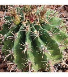 Ferokaktus - Ferocactus chrysacanthus - semena - 6 ks