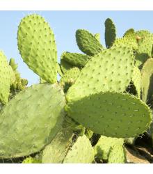 More about Opuncie - Indiánské fíky - Opuntia compressa - semena - 7 ks