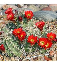 Kaktus - Echinocereus triglochidiatus - semena - 8 ks