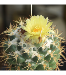 Kaktus Coryphantha bergeriana - prodej semen - kvalitní semena - 5 ks