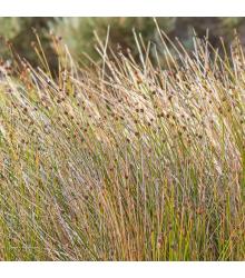 Ozdobná tráva - Ficinia nodosa - semena ozdobné trávy - 10 ks