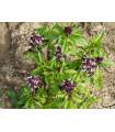 Bazalka pravá Spice - Ocimum basilicum Spice Basil - semena - 30 ks