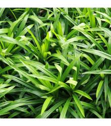 Palmová tráva - Setaria palmifolia - semena - 10 ks