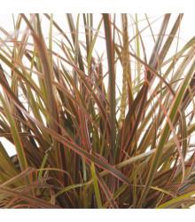 Okrasná tráva - Uncinia egmontiana - semena - 5 ks