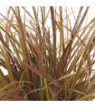 Okrasná tráva - Uncinia egmontiana - semena trávy - 5 ks