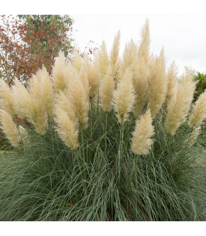 Pampas stříbrný - bílý - (Pampová tráva) - Cortaderia selleona - semena Pampasu - 10 ks