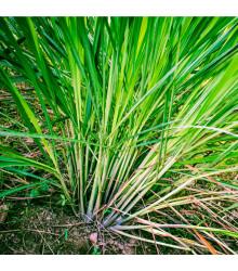 Citronová tráva - Cymbopogon flexuosus - semena - 20 ks
