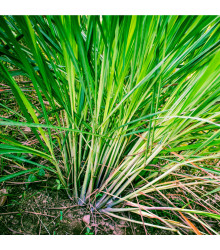 Citronová tráva - Voňatka - Cymbopogon flexuosus - semena citrónové trávy - 20 ks