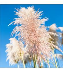 Pampová tráva růžová - Pampas - Cortaderia selloana - semena - 10 ks