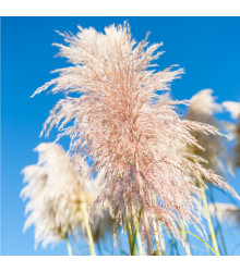 More about Pampová tráva růžová - Pampas - Cortaderia selloana - semena - 10 ks