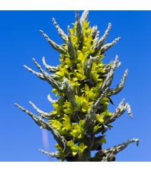 Puja - Puya Chilensis - semena - 5 ks