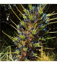 Puja - Puya Venusta - semena - 5 ks