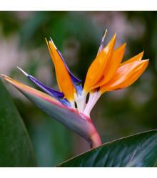 Strelície královská - rostlina Strelitzia reginae - prodej semen - 2 ks