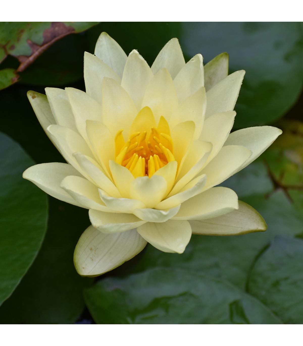 Leknín bílý - Nymphaea ampla - semena Leknínu - rostliny do jezírka - 6 ks