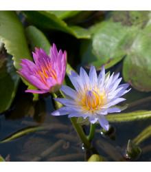 Leknín směs barev - Nymphaea caerulea - semena - 5 ks