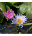 Leknín směs barev - Nymphaea caerulea - semena leknínu - 5 ks