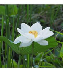Lotos indický - Nelumbo nucifera - semena - 2 ks
