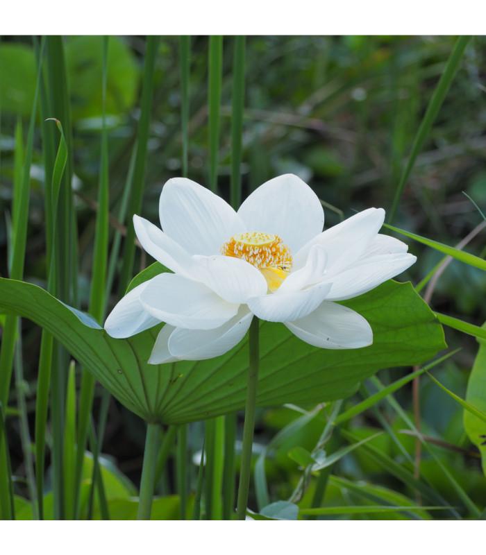 Lotus indický - Nelumbo nucifera - semena Lotusu - 2 ks