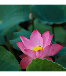 Lotos indický červený - Nelumbo nucifera - semena - 2 ks