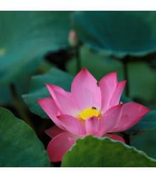 Lotos indický růžový - Nelumbo nucifera - semena - 2 ks